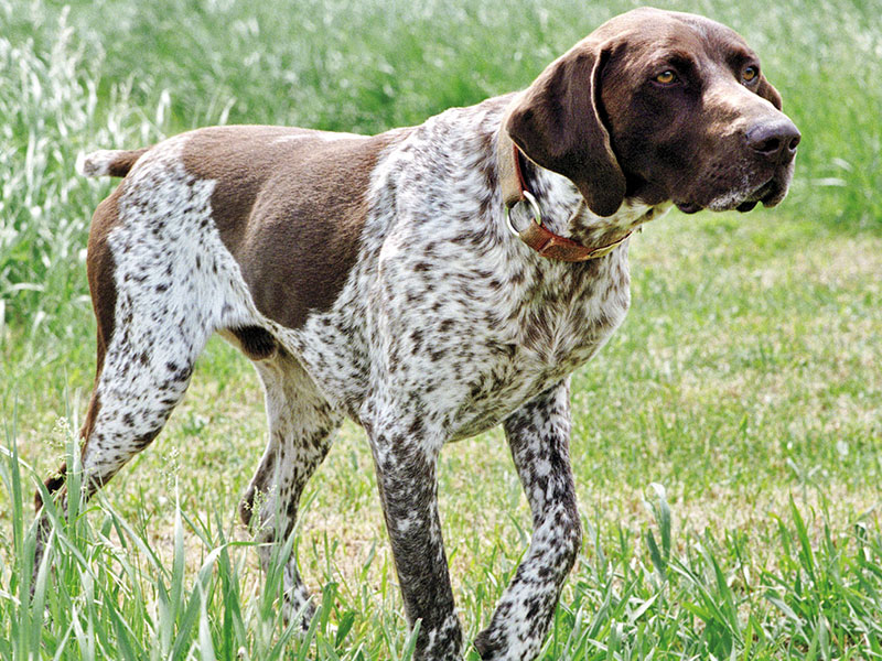German-pointer