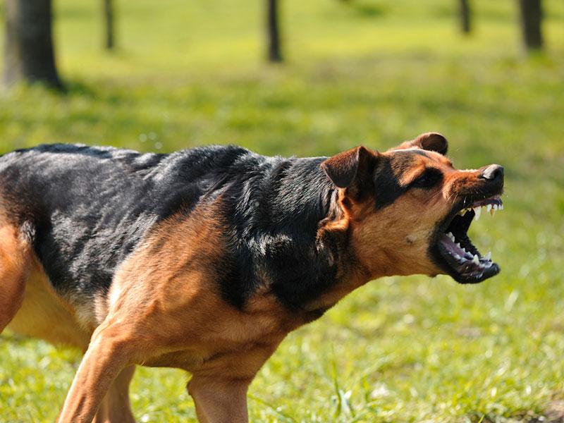 agressive-dog
