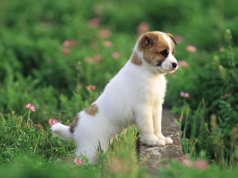 pettit-dog